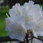 Rododendron Schlaraffia