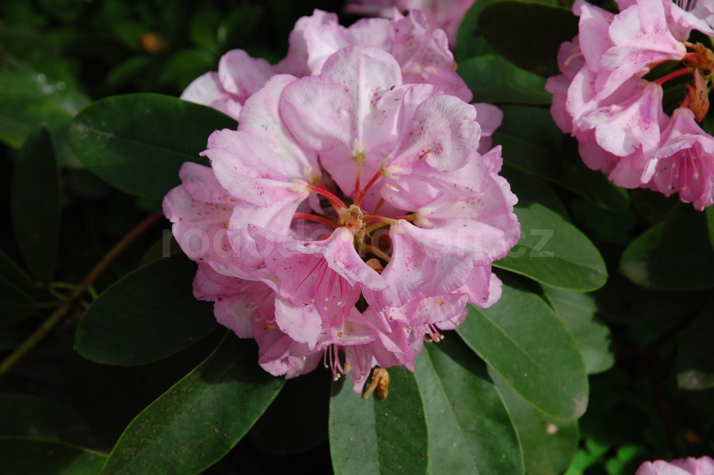 Rododendron H. Halven