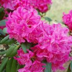 Rododendron Hw Sargent