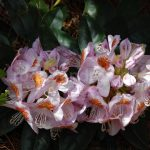 Rododendron Lowinsn