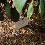 Rododendron Olin O Dobbs
