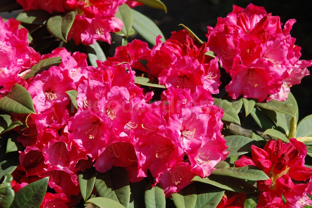 Rododendron Rosarka