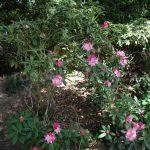 Rododendron Seestadt Bremerhaven