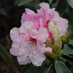 Rododendron Spatlesee
