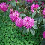 Rododendron Charles Sargent