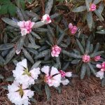 Rododendron Edelweiss