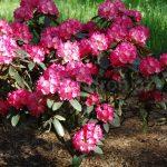 Rododendron Eggert Rohwer