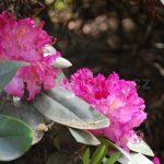 Rododendron Eichte
