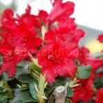 Rododendron Elisabeth Hobbie