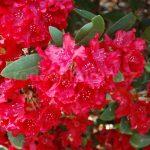 Rododendron Erato