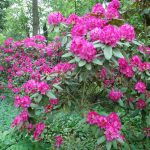Rododendron Erna