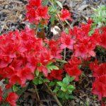 Rododendron Estrella