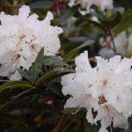 Rododendron Euterpe