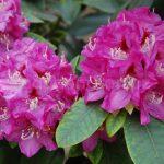 Rododendron Eva