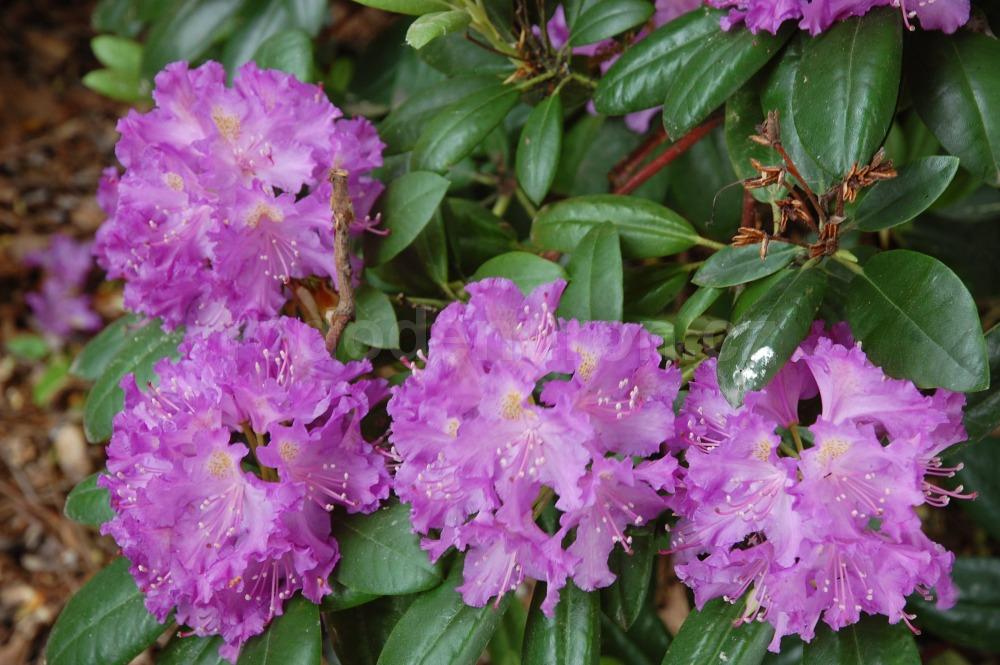 Rododendron Everestianum