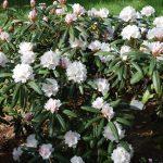 Rododendron Failig Snow