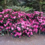Rododendron Fantastica