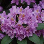 Rododendron Fastuosum