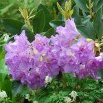 Rododendron Fastuosum Flore Pleno