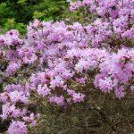 Rododendron Fittianum