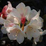 Rododendron Flava