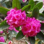 Rododendron Florence Sarah Smith