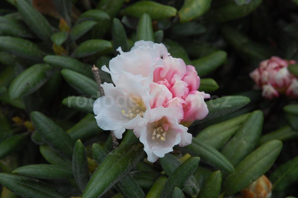 Rododendron Formosana