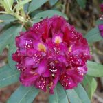 Rododendron Frank Galsworthy