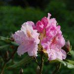 Rododendron Frau Martha Lenschke