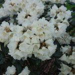 Rododendron Fruhlings Gold