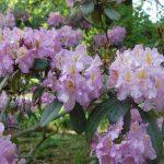 Rododendron Frunsberg