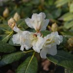 Rododendron Fullhorn