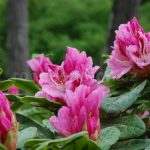 Rododendron Furnivallas Daughter