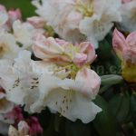 Rododendron Gartendirector Rieder