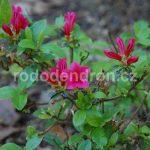Rododendron Geisha