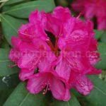 Rododendron Gesche