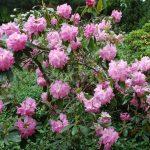 Rododendron Gina Lollobrigida