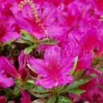 Rododendron Girards Fuchsia