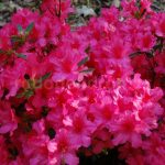 Rododendron Girards Rose