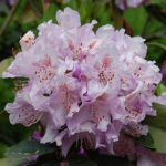 Rododendron Gisela