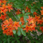 Rododendron Gloria Mundi