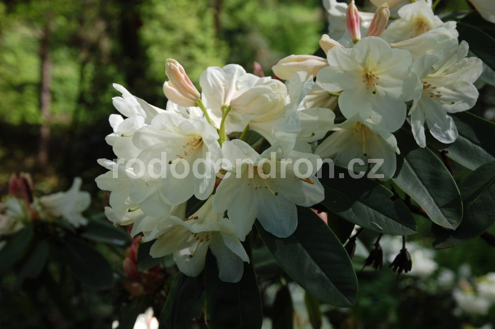 Rododendron Gold Fort