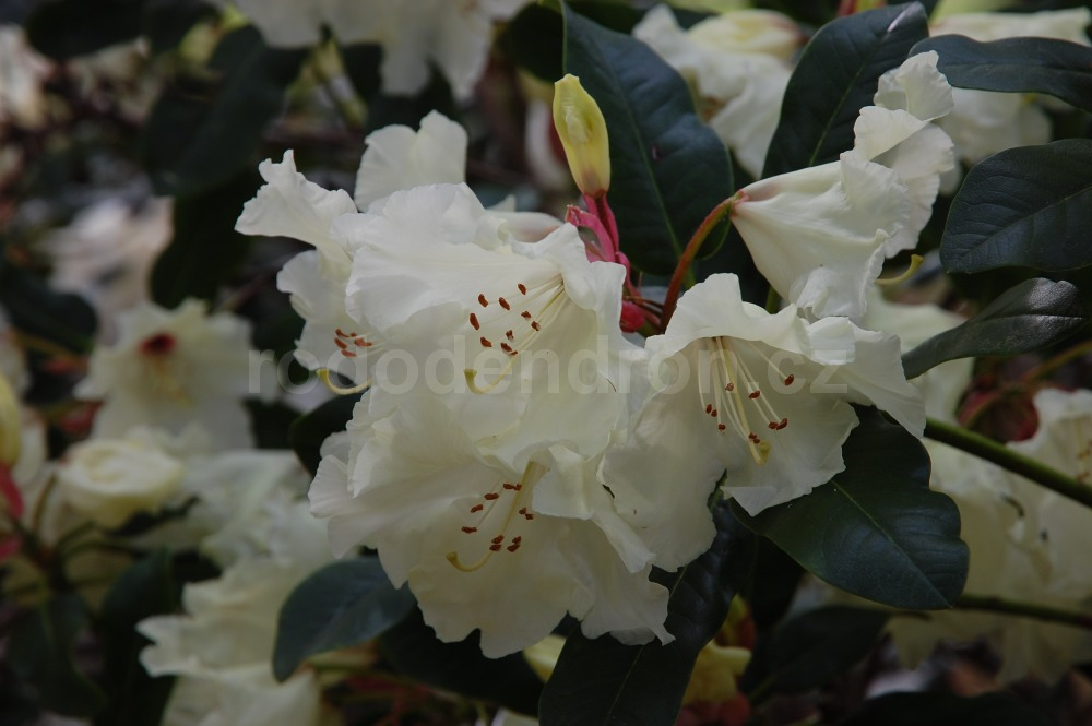 Rododendron Golden Bedser