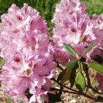 Rododendron Goteborg