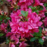 Rododendron Granada