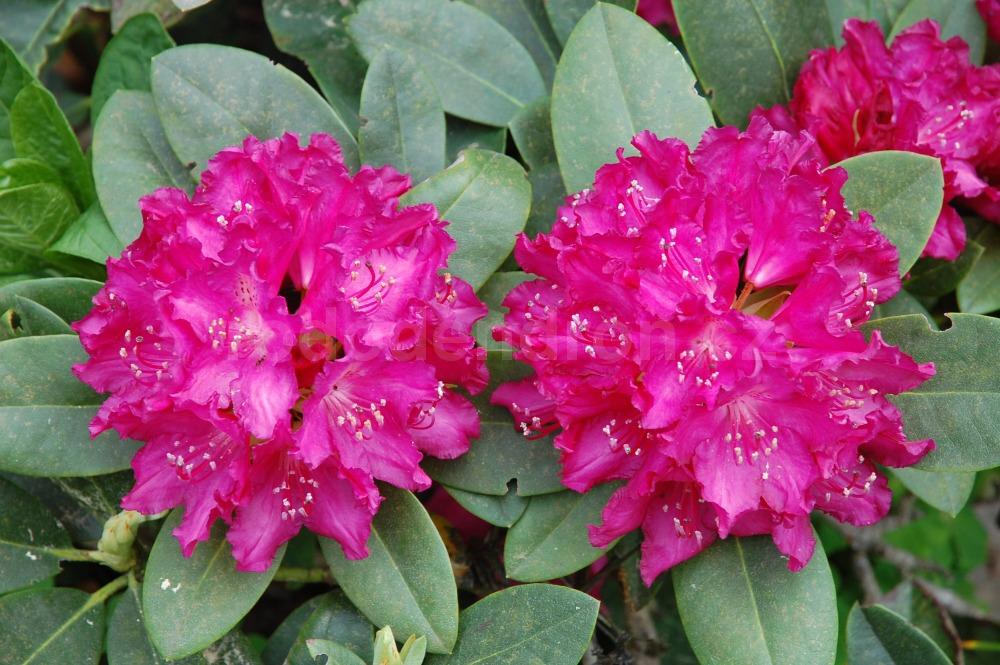 Rododendron Granat