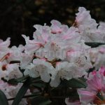 Rododendron Guliver