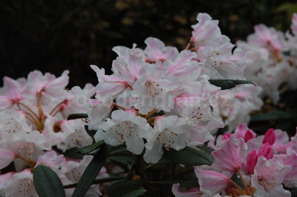 Rododendron Gulliver