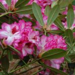 Rododendron Hachmmans Charmant