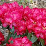 Rododendron Halfdan Lem